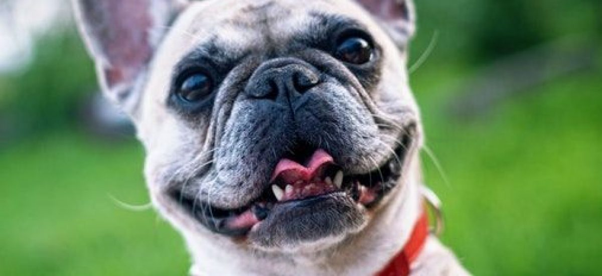Francúzsky bulldog