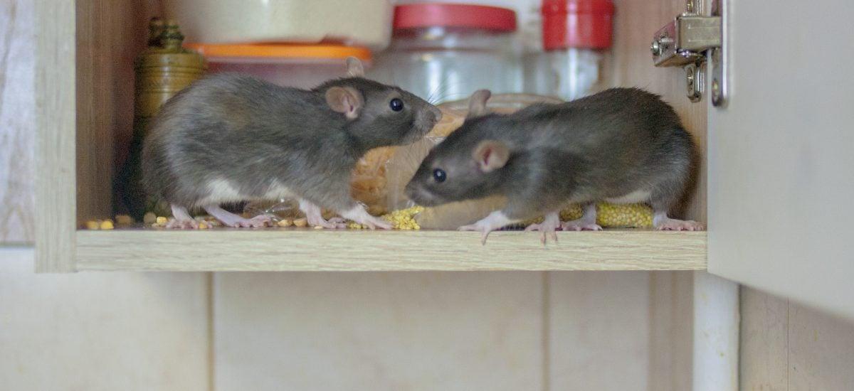 Myši požierajú jedlo