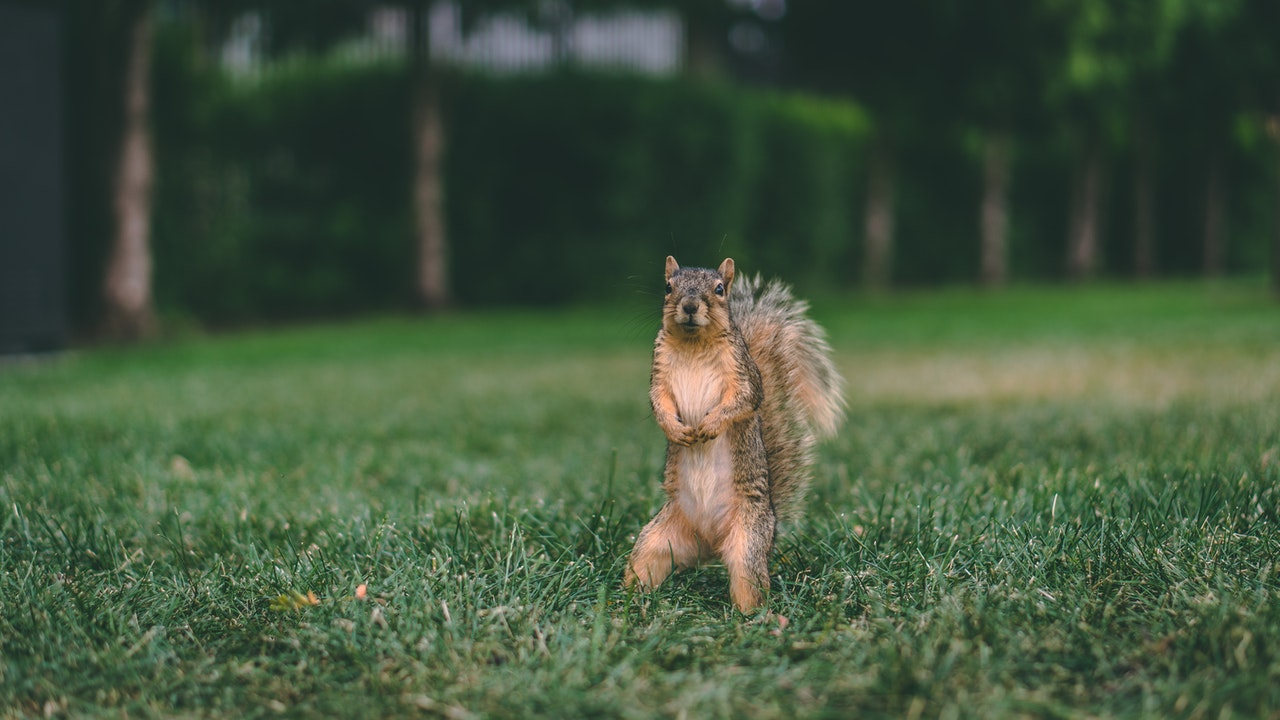 veverička