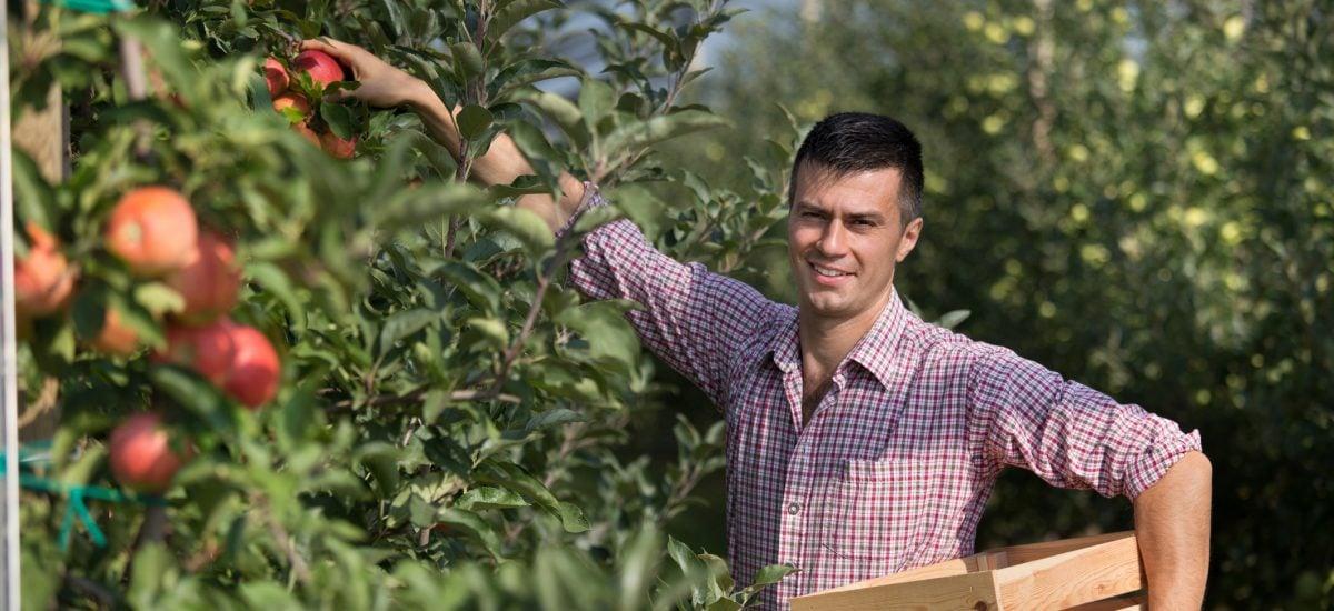 Muž oberajúci jabĺčka do bedničky