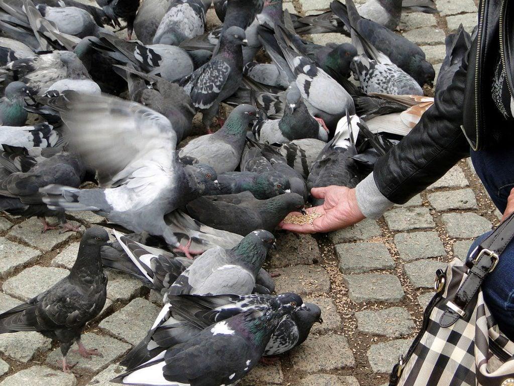 kŕmenie holubov an námestí