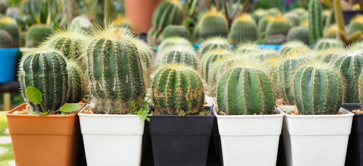Sukulenty kaktusy ako sa starať